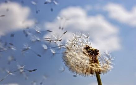 dandelion-wind-blow-something-wish
