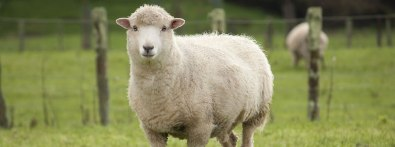 bigstock-sheep-in-paddock-47692666